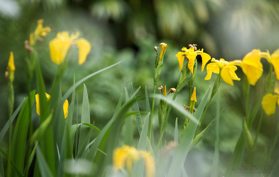 Flower Portrait Iris photographer Wales