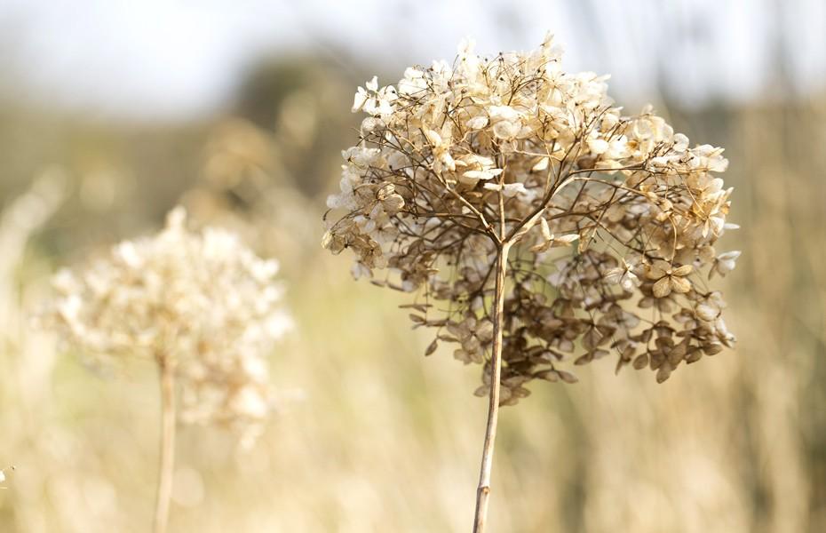 garden photographer wales dried flower head